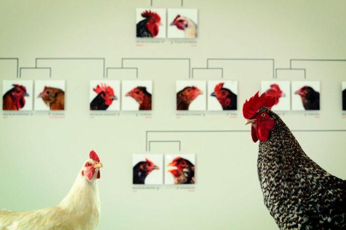 Imagem de capa. Koen Vanmechelen. The Cosmopolitan Chicken. Crônica